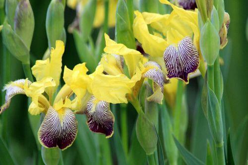 irises flowers plant