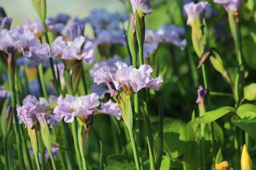 irises  flowers  spring flowers