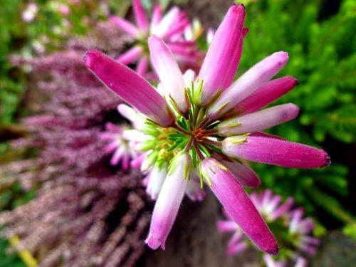 irish erika heather blossoms irish heath