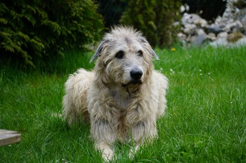 irish wolfhound dog wildlife photography