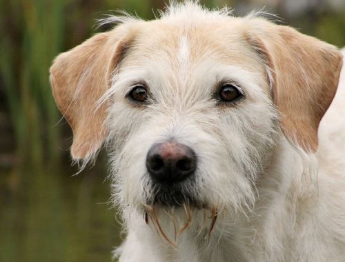 irish wolfhound hybrid billy dog portrait