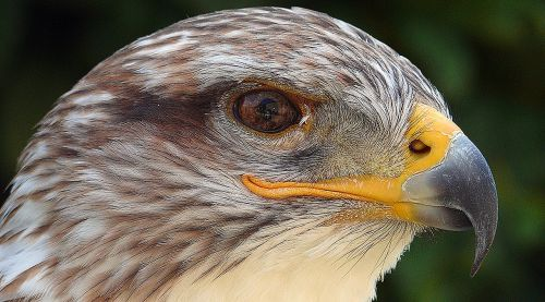 is bird feather molt adler