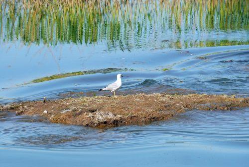 island residents seagull wetland