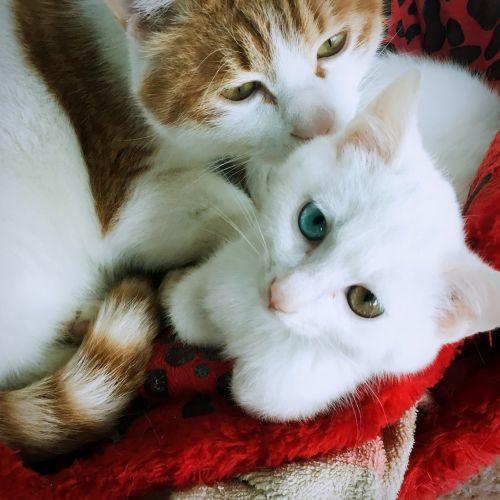 iso-pupil cat animal