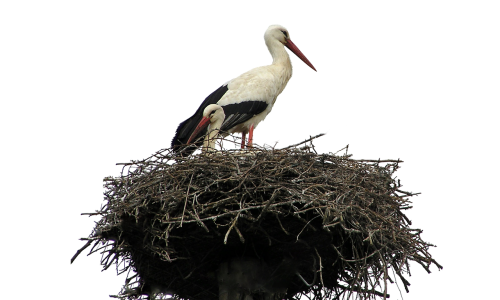isolated white stork