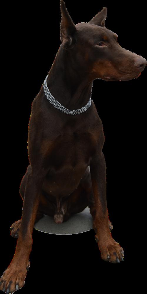isolated dog doberman