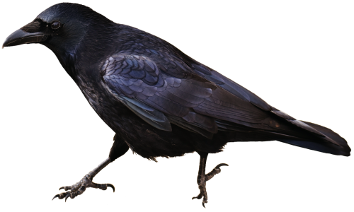 isolated crow bird