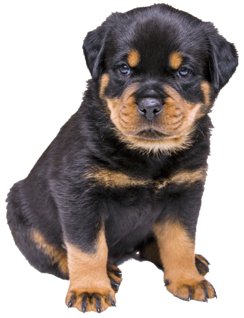isolated rottweiler puppy dog