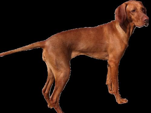 isolated weimaraner dog