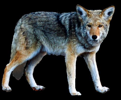 isolated wolf animal