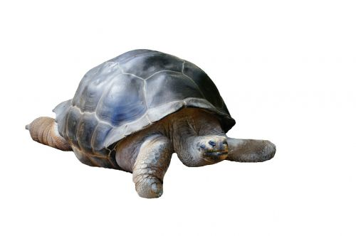 isolated turtle water creature