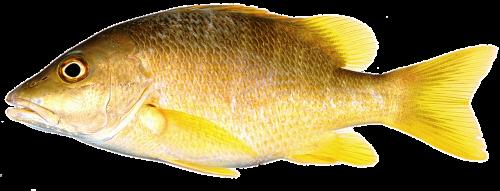 isolated fish yellow