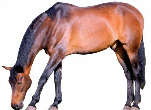 izoliuotas, arklys, fonas, gyvūnas, ūkis, lenktynės, ganyti, izoliuotas arklys