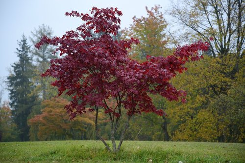 isolated tree  tree red  fall color