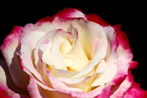 isparta rose red and white innocent