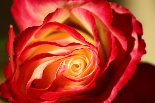 isparta rose galaxy rose