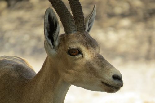 israel engedi ibex