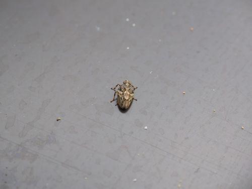 issus coleoptratus insect cicada