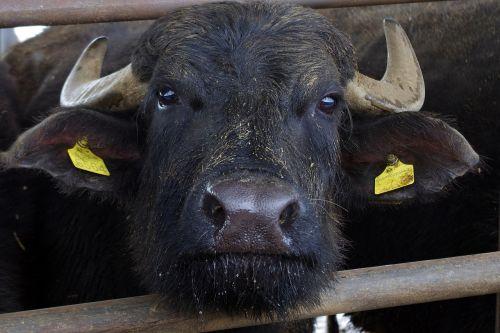 italian buffalo buffalo paestum