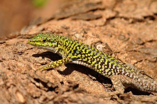 italian wall lizard reptile wildlife