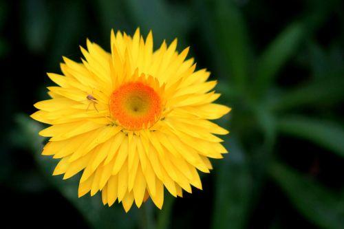 italicum composites yellow