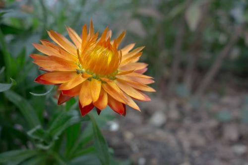 italicum flowers nature
