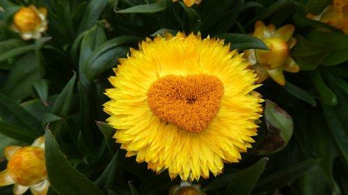 italicum  yellow  blossom