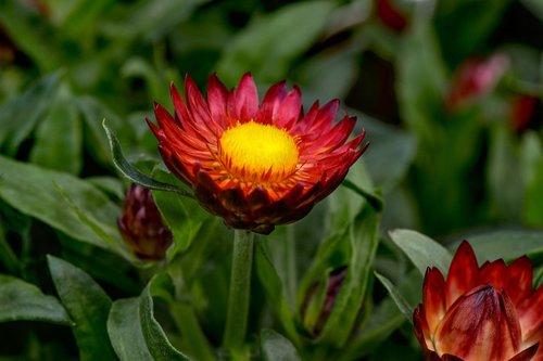 italicum  gnaphalieae  trockenblume