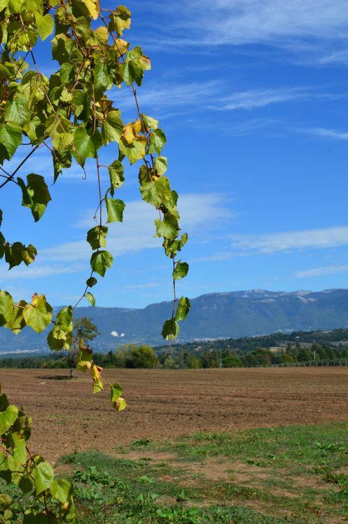 italy grape vine wine