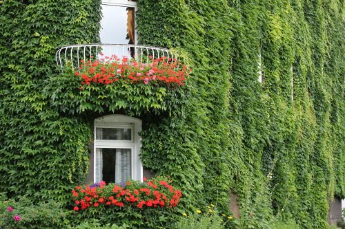 ivy facade ivy leaf