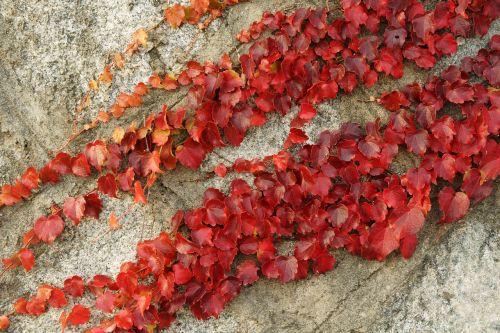 ivy vine autumn