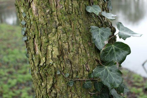 ivy tree parc