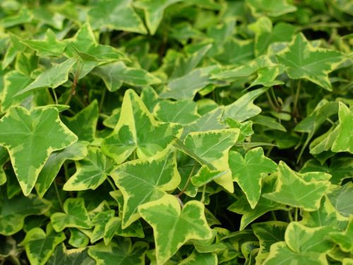 ivy green plant nature