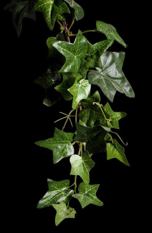 ivy plant rank growths
