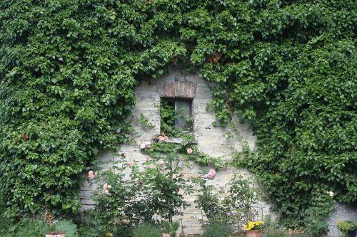 ivy common ivy climber