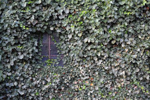 ivy wall window