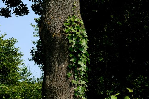 ivy medis,rank,žalias,išnaudoti,kiek galima
