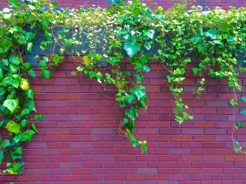ivy the vine fence