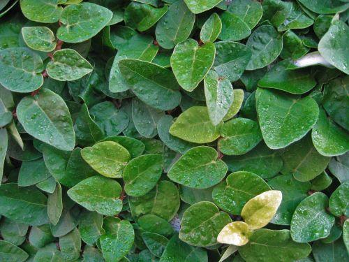 ivy the vine leaf