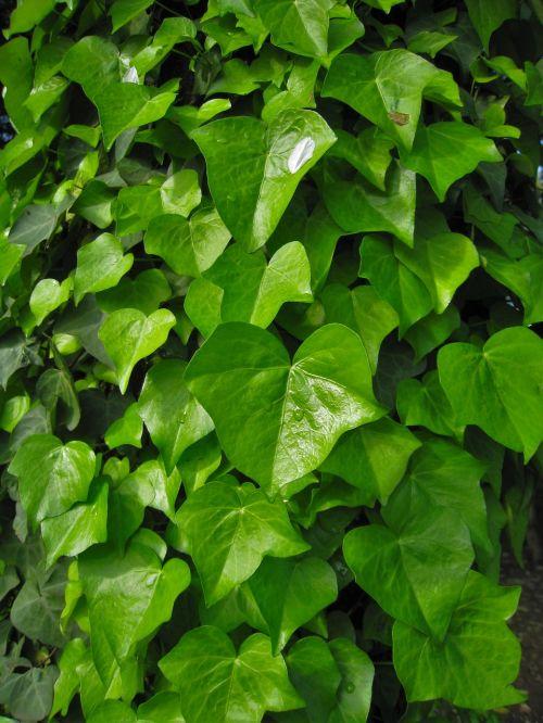 ivy the vine green