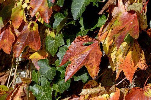 wine partner ivy autumn colours