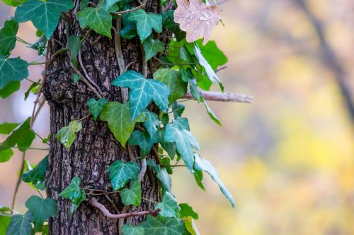 ivy log autumn