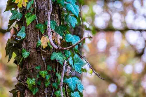 ivy light reflections autumn