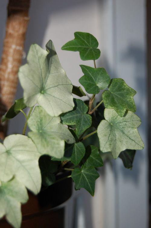 ivy houseplant green