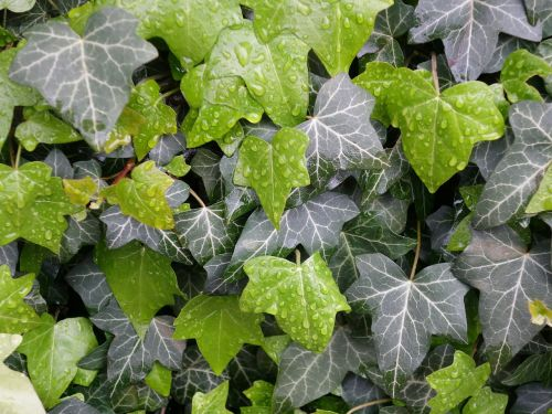 ivy leaves wet
