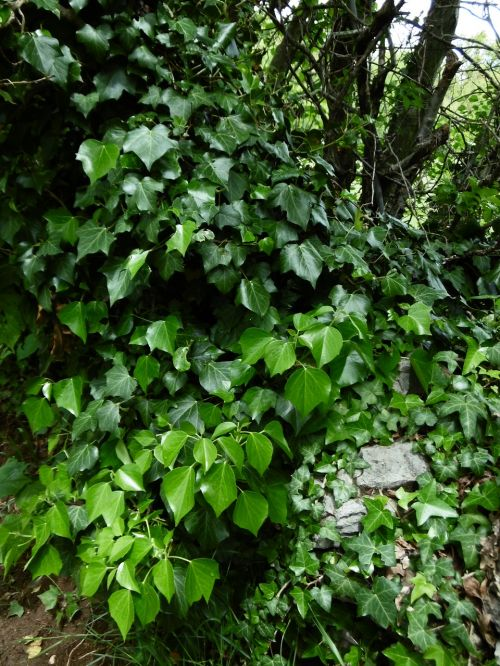 ivy nature leaves