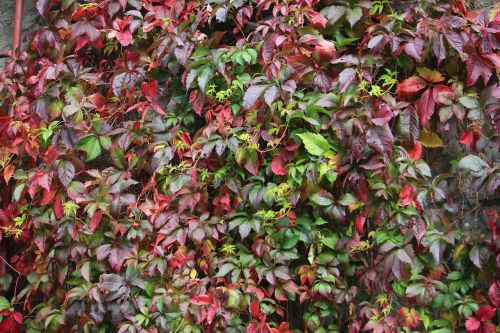 ivy wall autumn colour