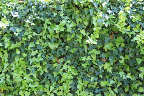 ivy green garden