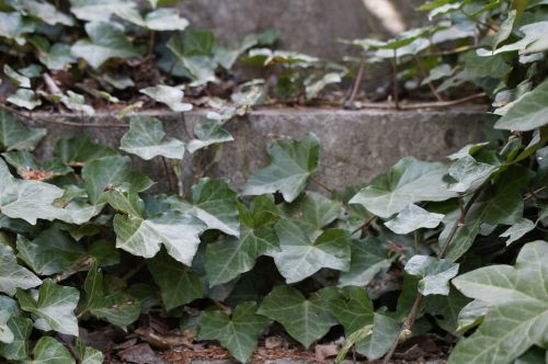 ivy entwined stairs