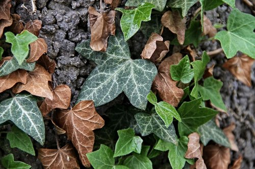 ivy  hedera helix  leaves